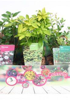 heestermix-colourful-garden-party-wintergroen